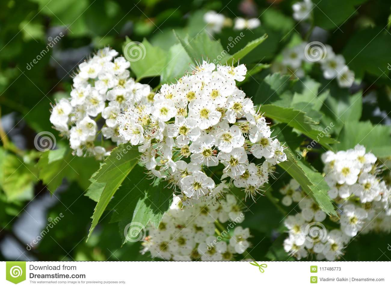 White Hawthorn Flowers Stock Image Image Of Branch 117486773