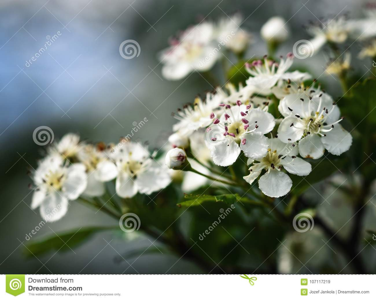 White Hawthorn Flowers Stock Image Image Of Blossom 107117219