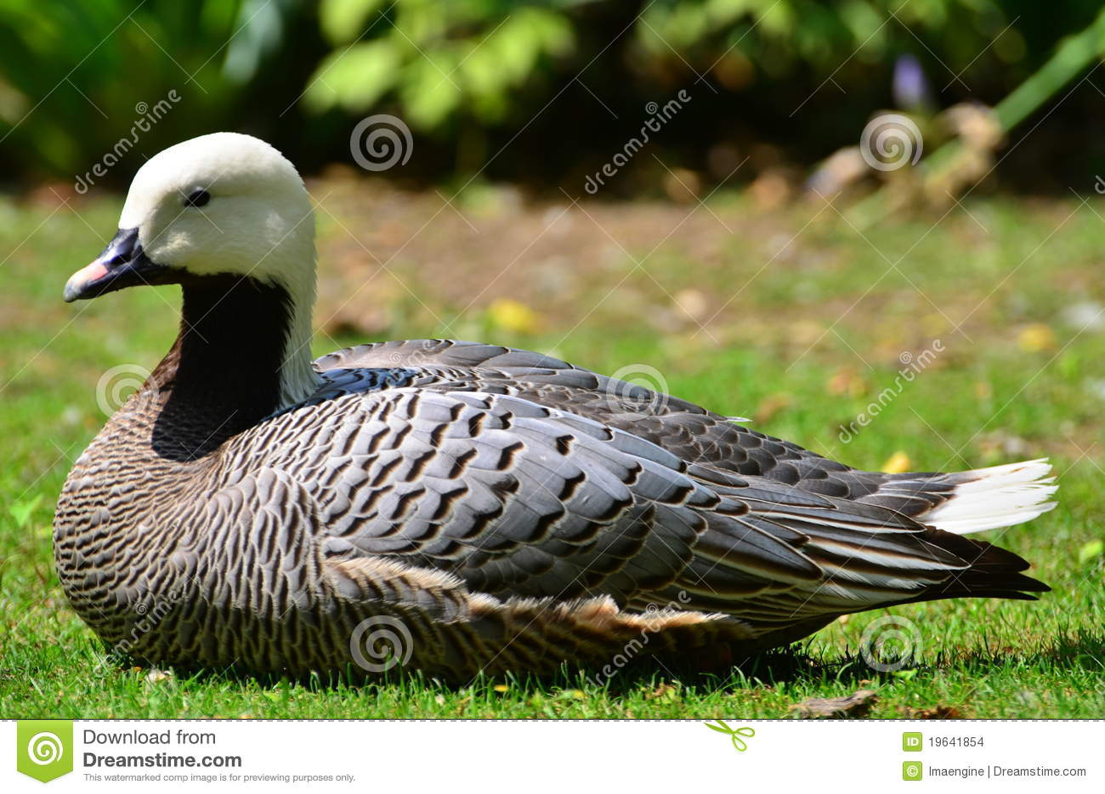 white head duck stock photo image of green goose design 19641854