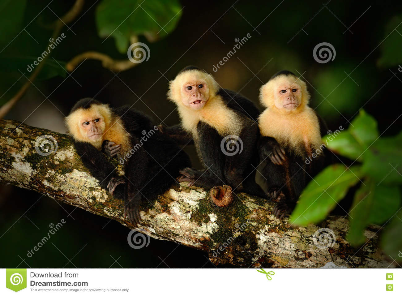 White-headed Capuchin, Cebus capucinus, black monkey sitting on the tree branch in the dark tropic forest, animal in the nature ha
