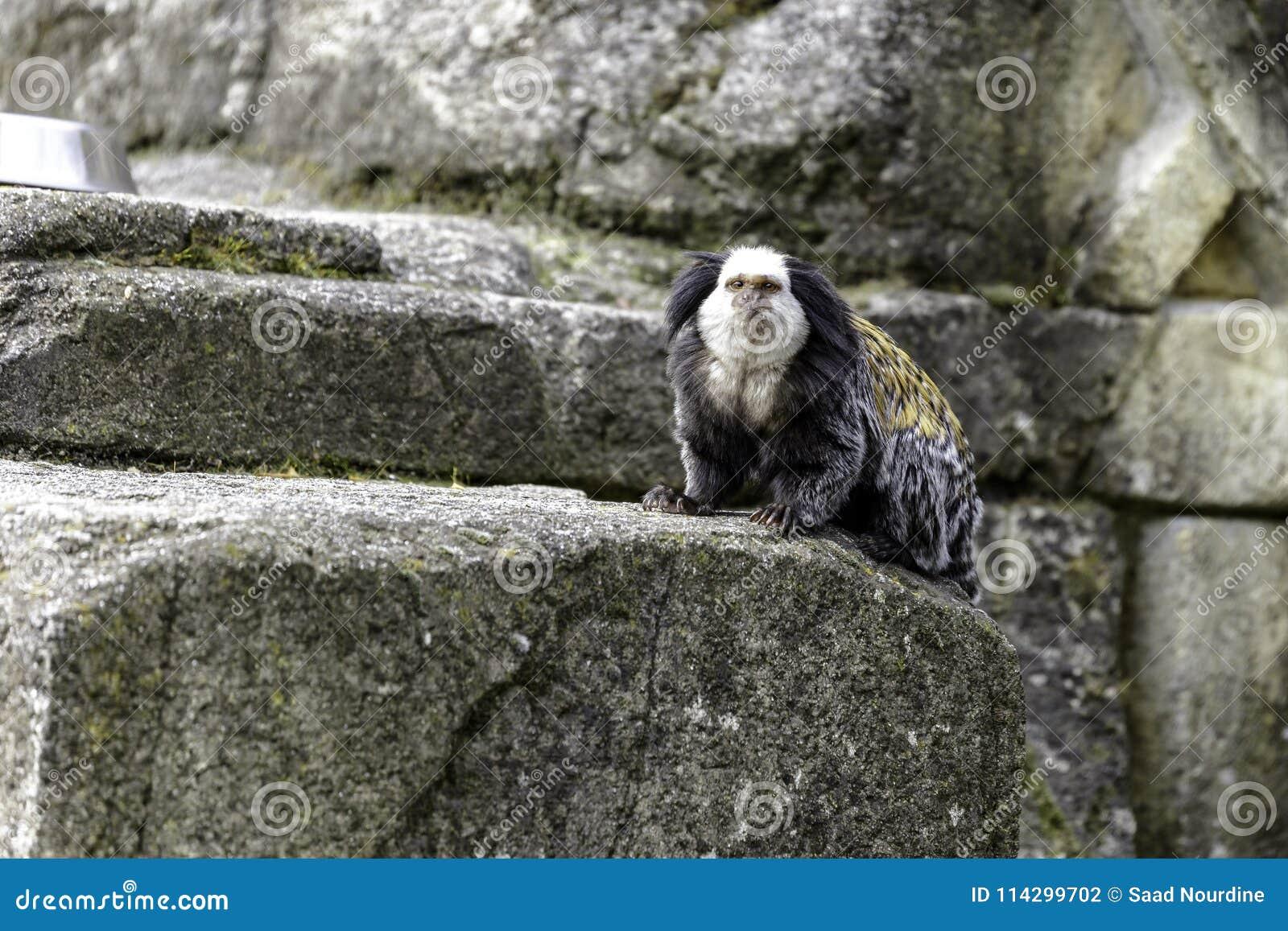 white-headed marmoset