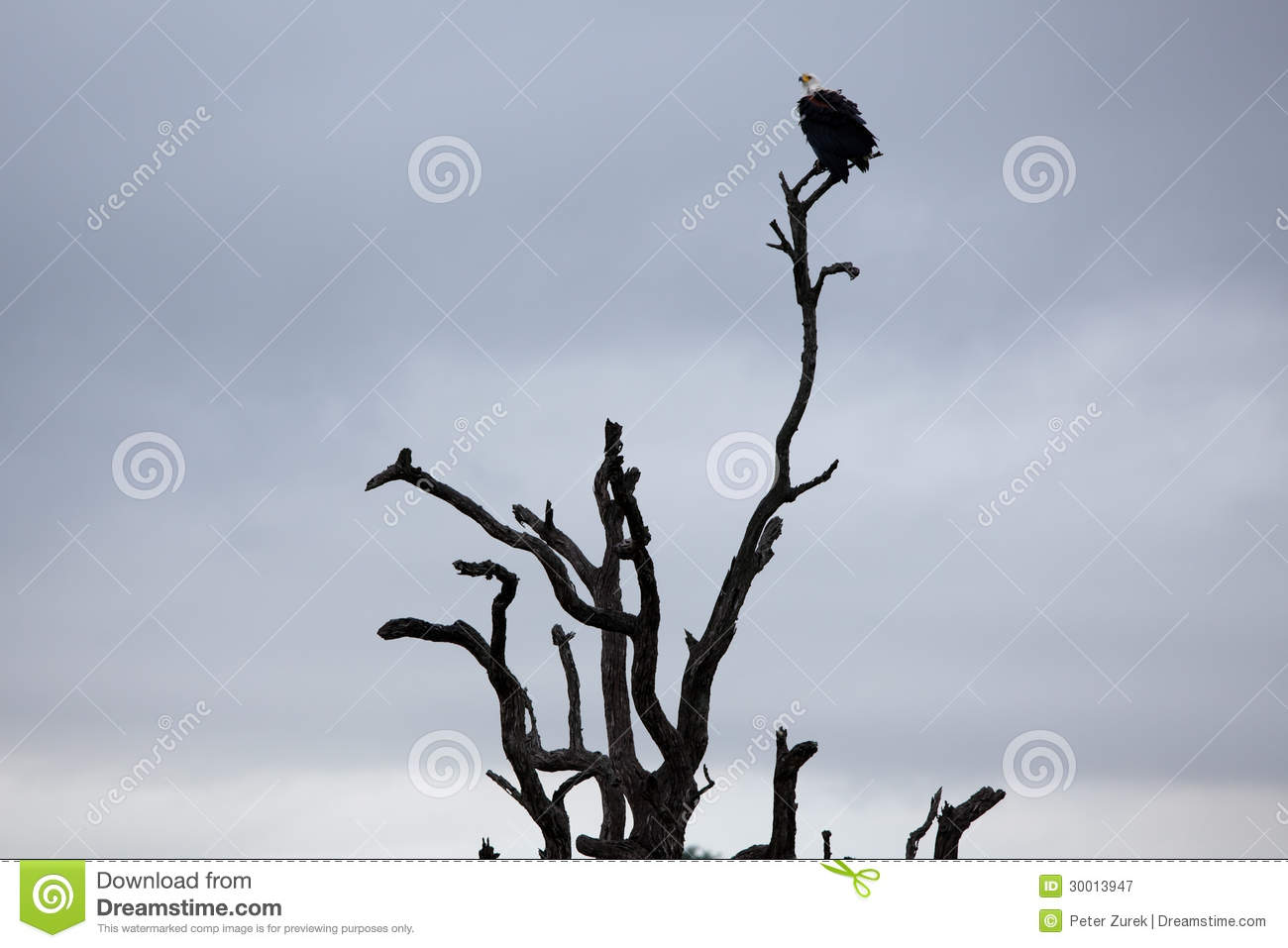 White-headed Vulture on bare tree trunk