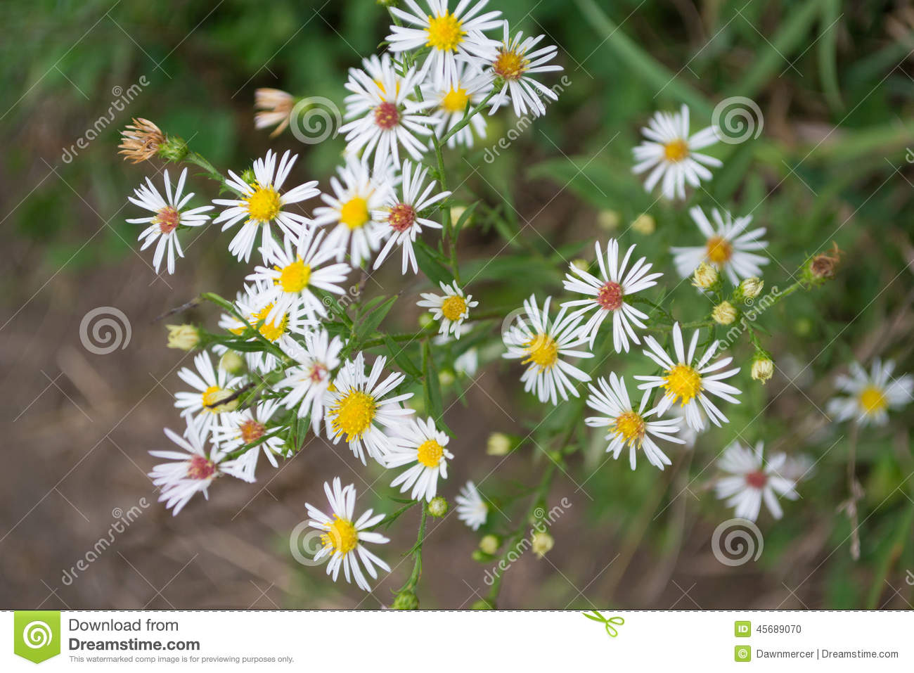 closeup of smooth white aster flowers stock photo  image, Beautiful flower