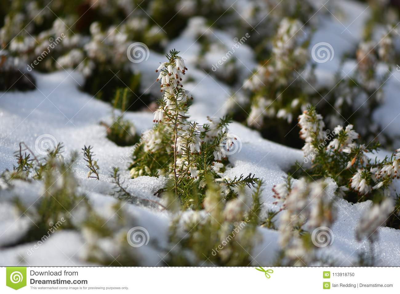 White heather x28erica sp x29 flowering in the snow stock white flowers of a common heather plant in the family ericaceae mightylinksfo