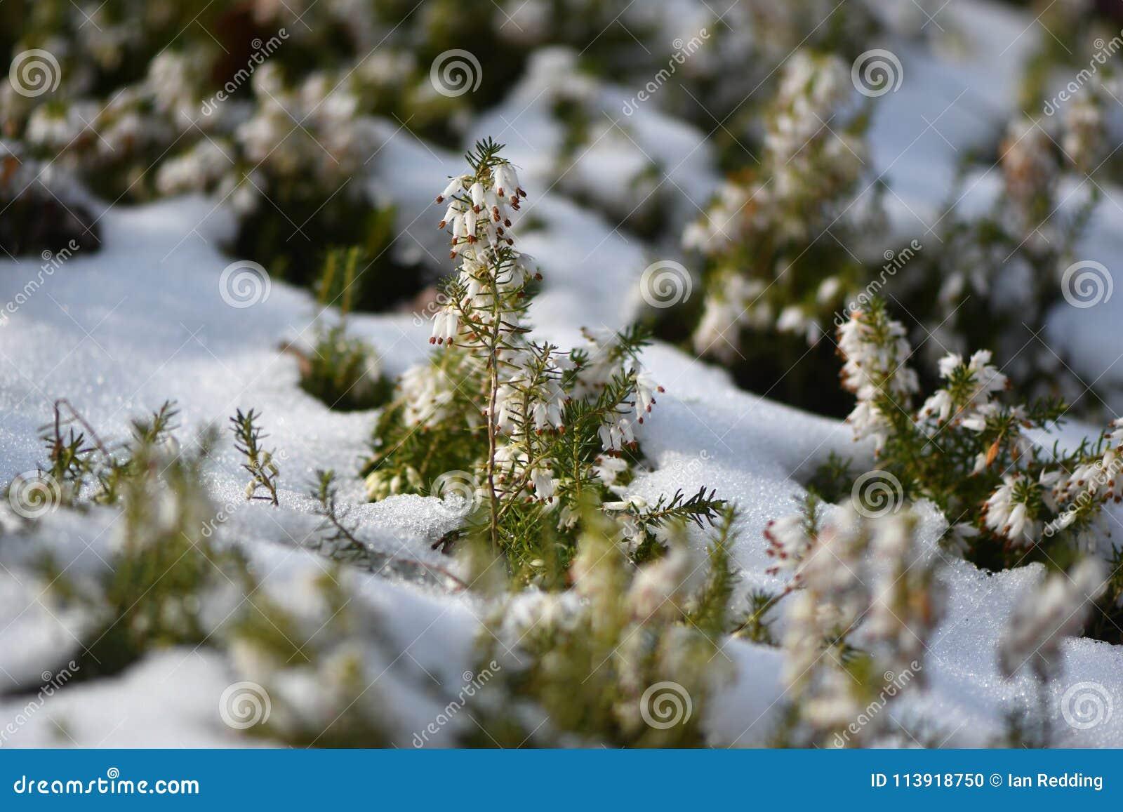 White Heather X28erica Sp X29 Flowering In The Snow Stock