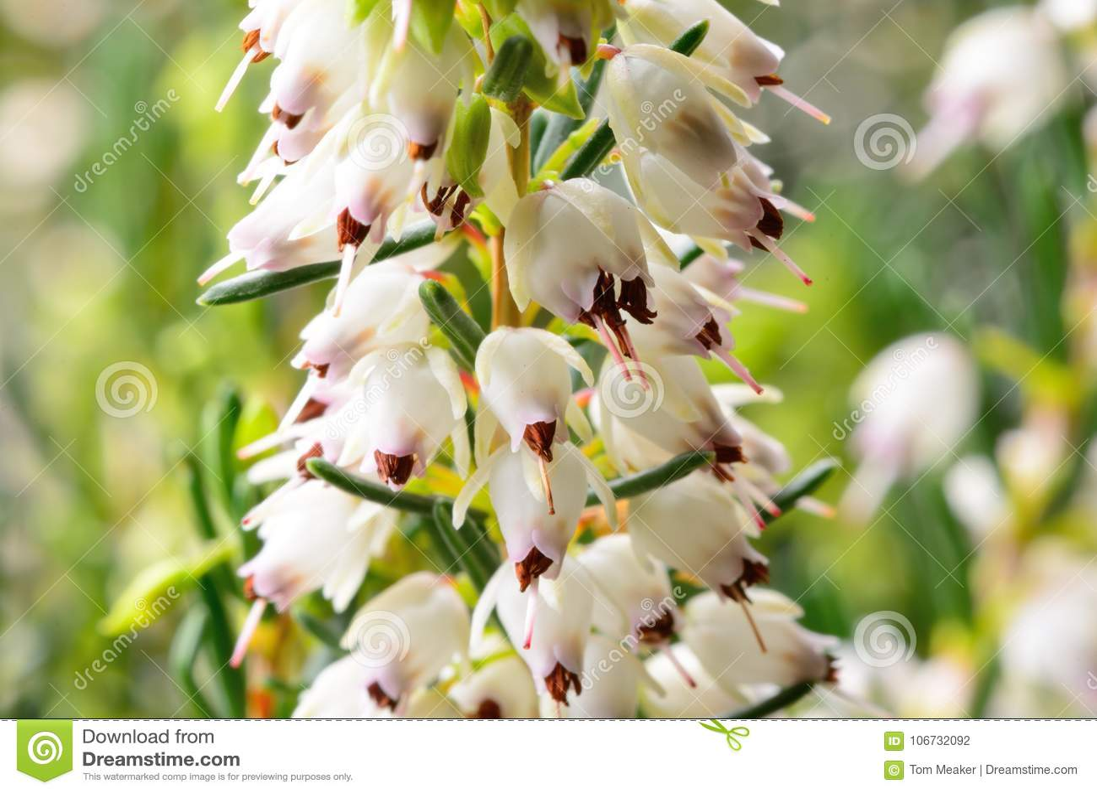 White Heather Stock Photo Image Of Flower Close Wild 106732092