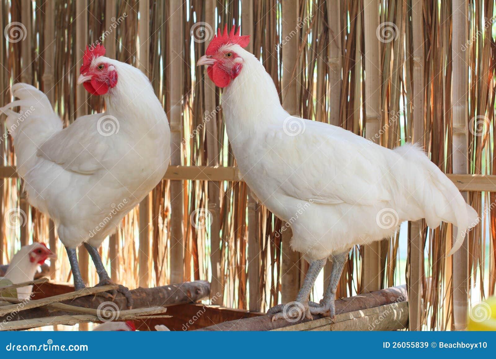 White hen White Hen
