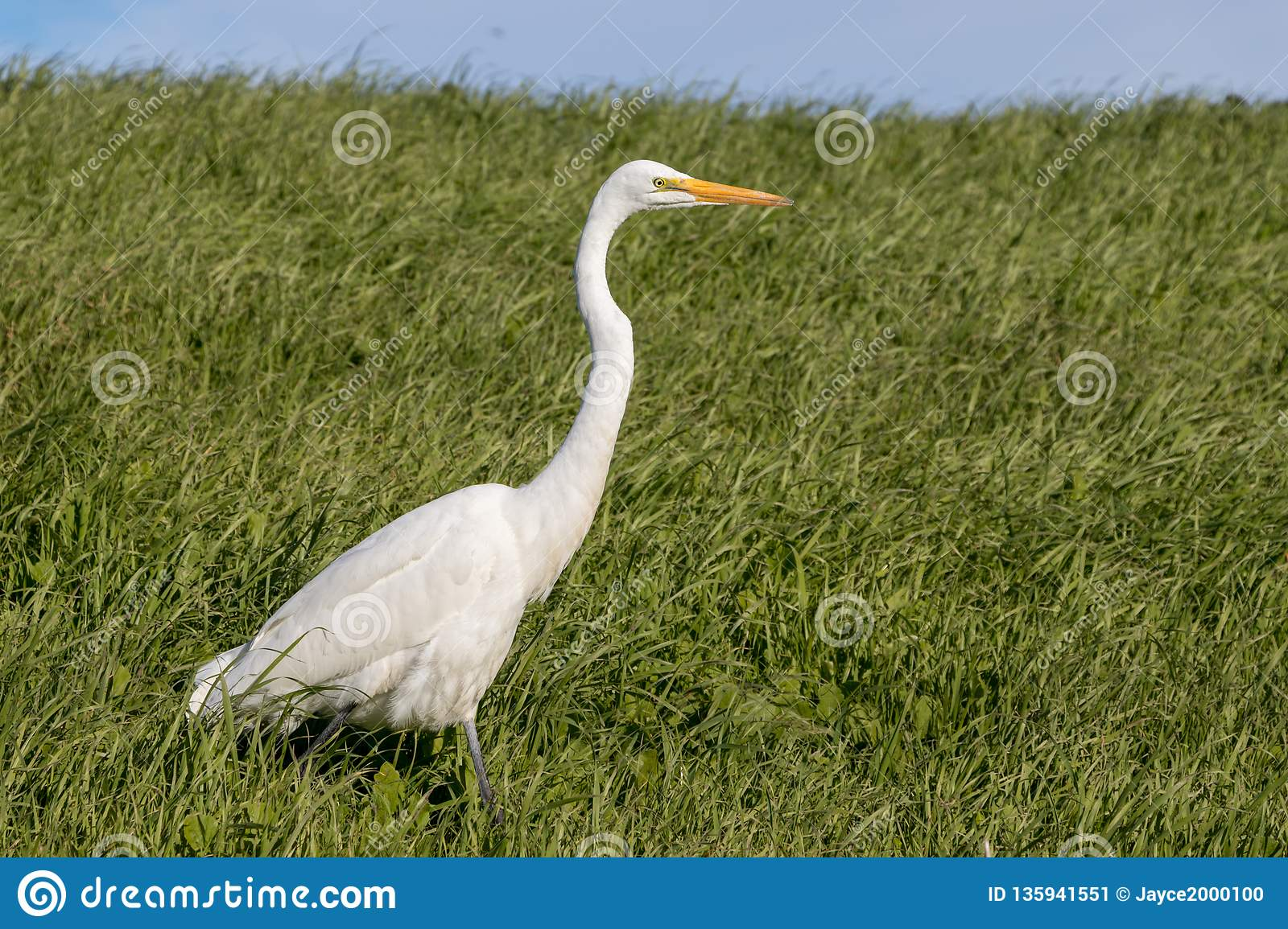 White Heron walking through tall, green grass on a sunny spring afternoon