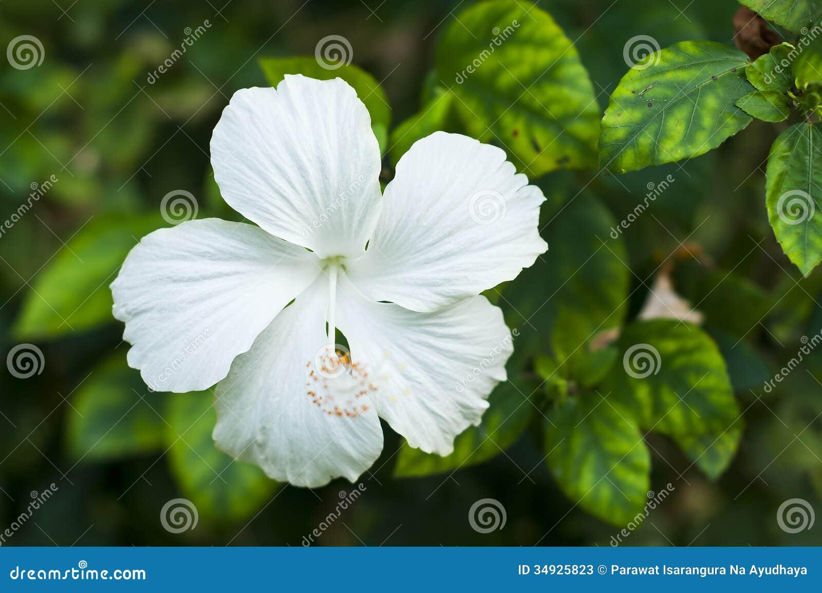 White hibiscus stock image image of hibiscus jamaica 34925823 download white hibiscus stock image image of hibiscus jamaica 34925823 izmirmasajfo