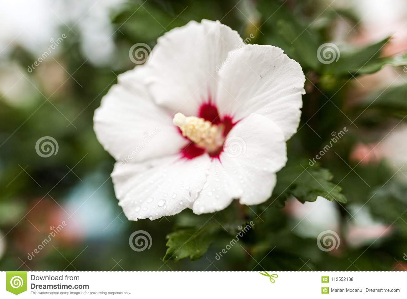 A White Hibiscus Flower Stock Photo Image Of Flower 112552188