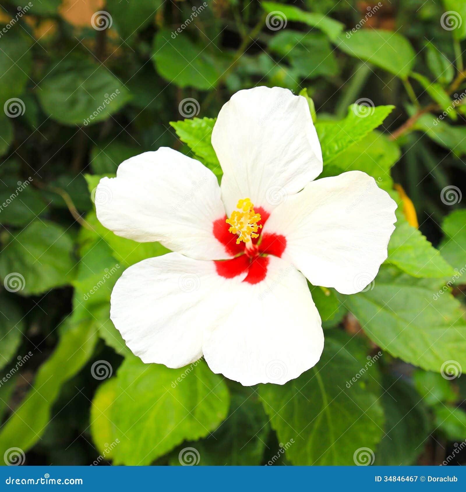 White Hibiscus Flower Stock Image Image Of Blossom Decorative