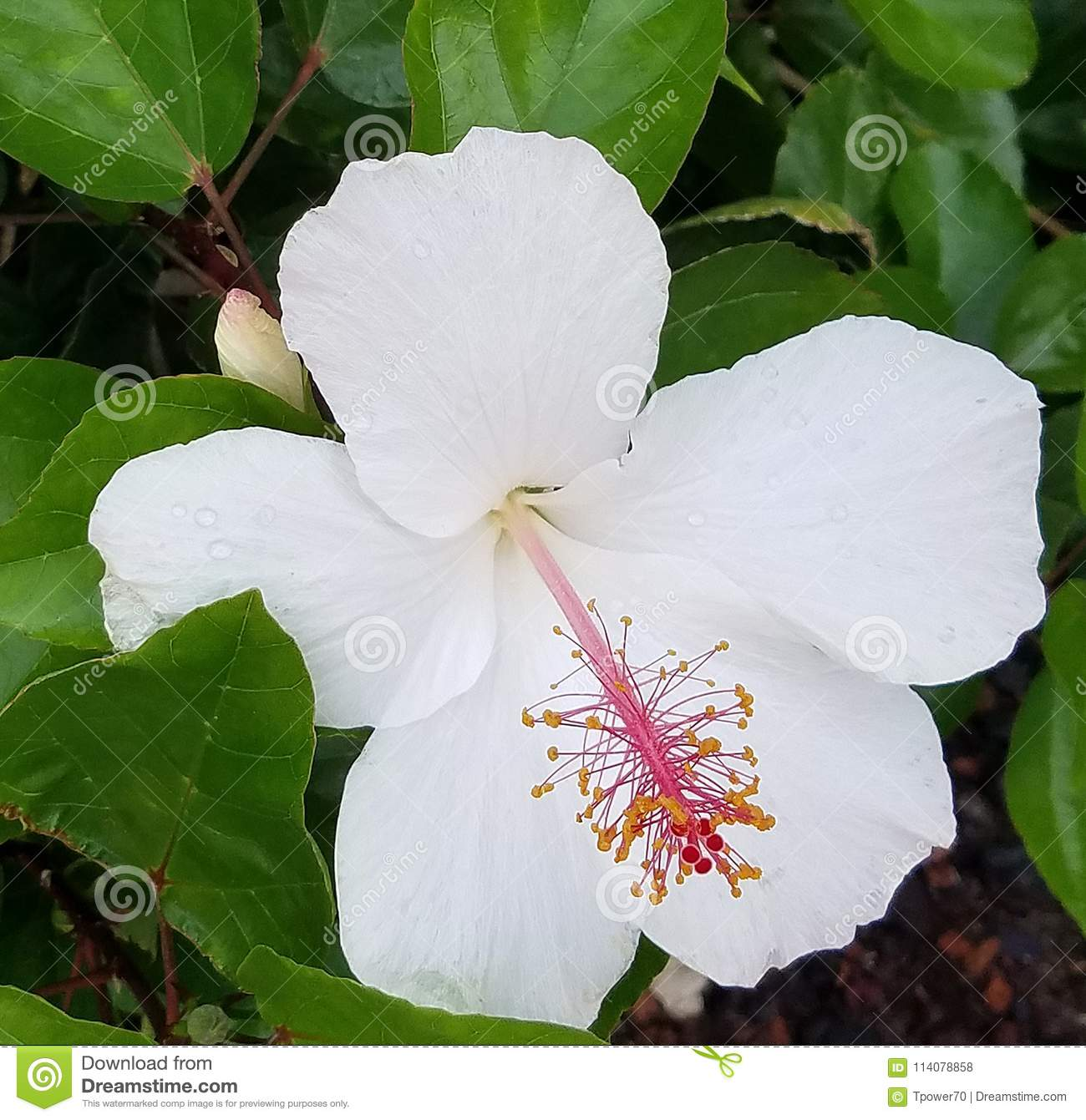 White Hibiscus Flower With Dew Drops On Petals Stock Photo Image