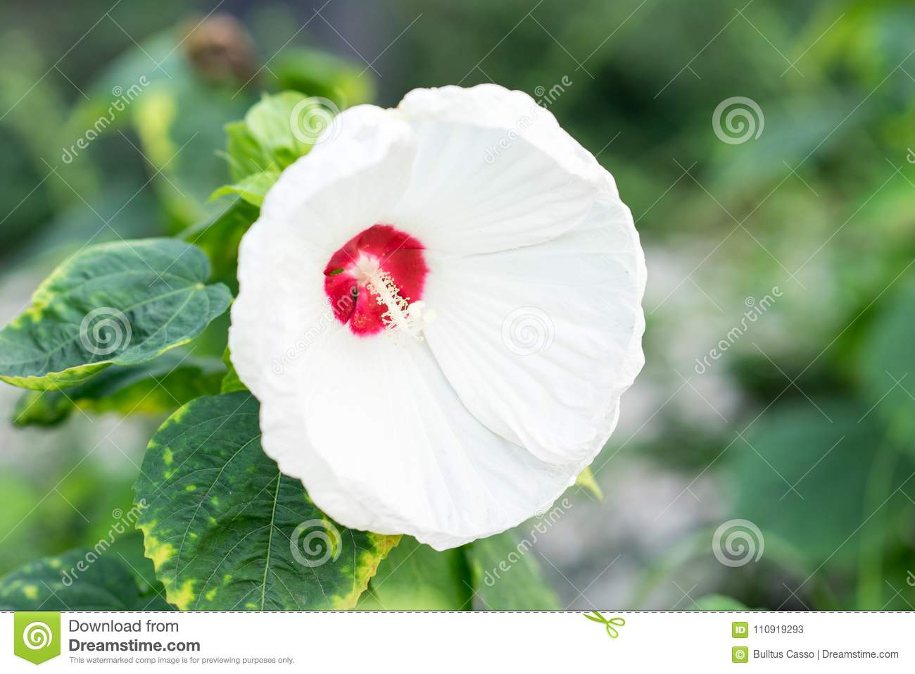 White Hibiscus Flower On Nature Or Chaba Flower Stock Image Image