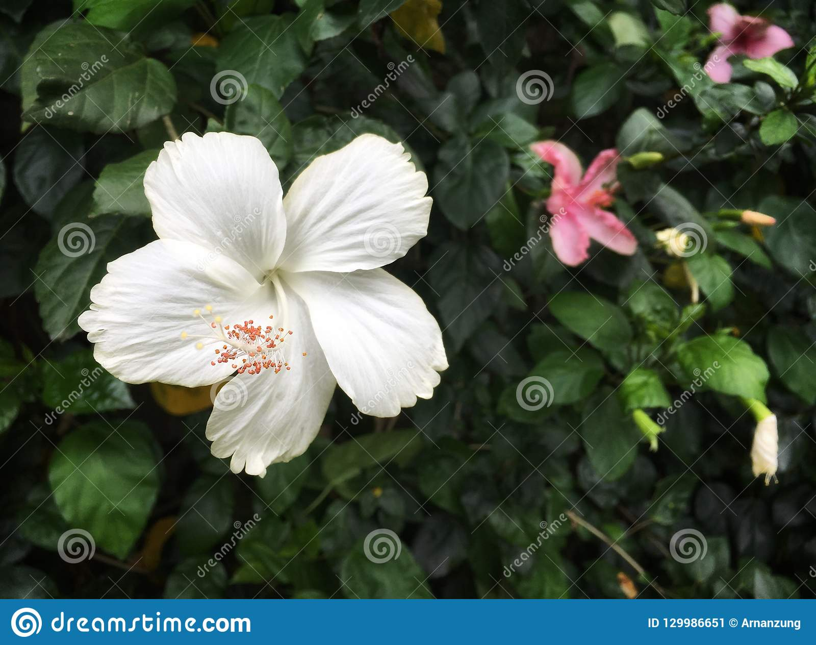 White Hibiscus Flower With Pink Pollen Stock Image Image Of Green