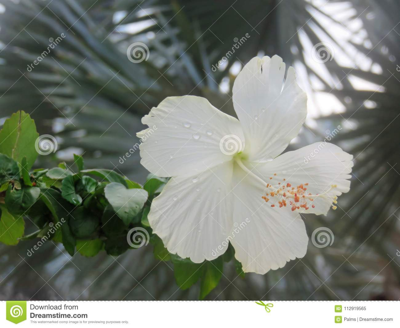 White hibiscus flower in tropical garden stock image image of asia very delicate pretty white hibiscus flower blooming in a tropical garden with fronds of palm trees in the background izmirmasajfo