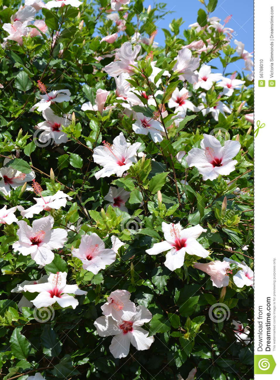 White Hibiscus Flowers Stock Photo Image Of Mallow