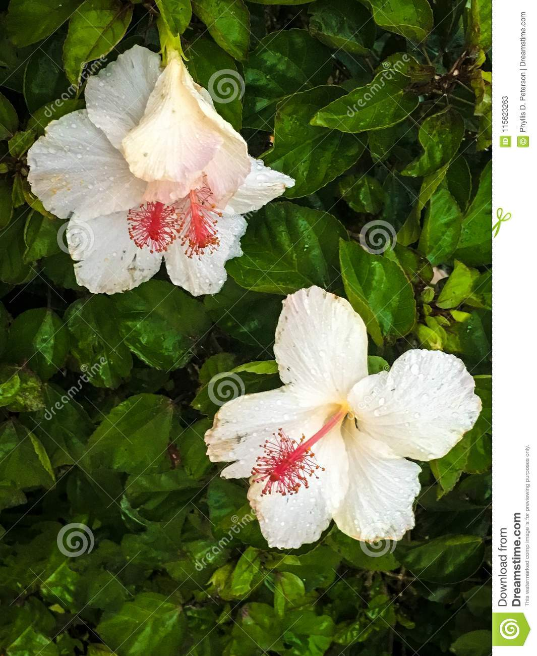 White Hibiscus Flowers And Leaves On Kauai Stock Image Image Of