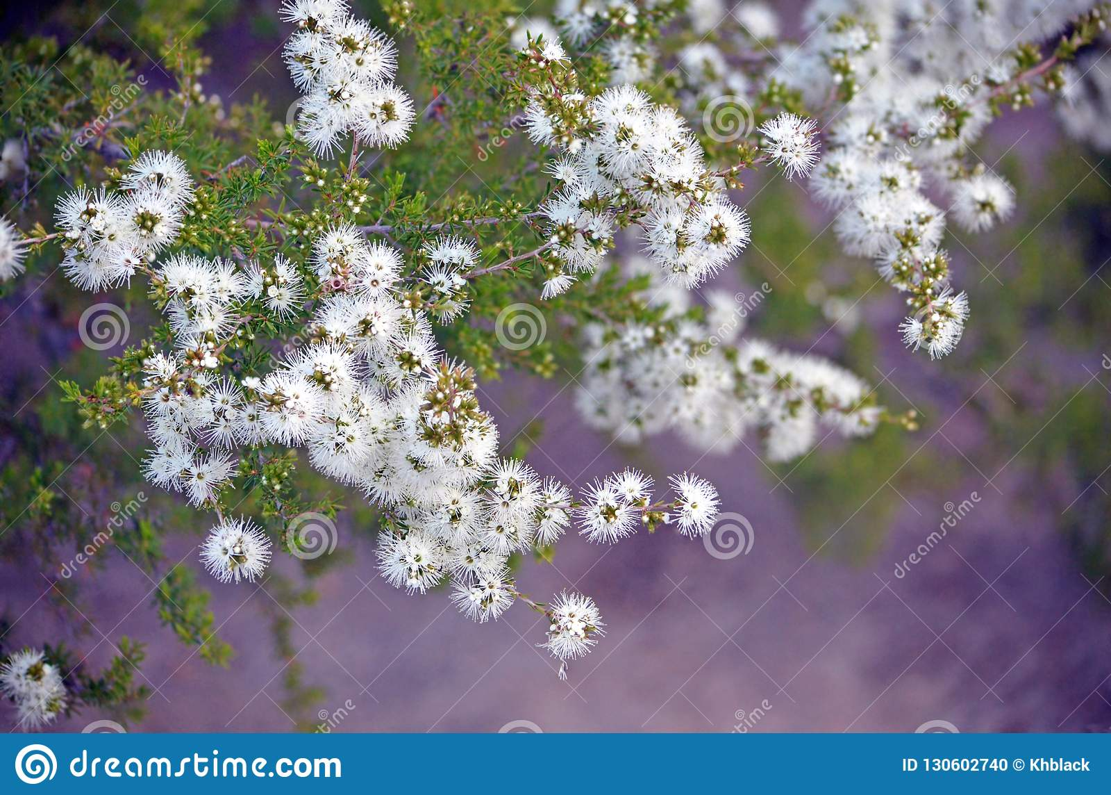 White Flowers Of Australian Native Kunzea Ambigua Stock Photo