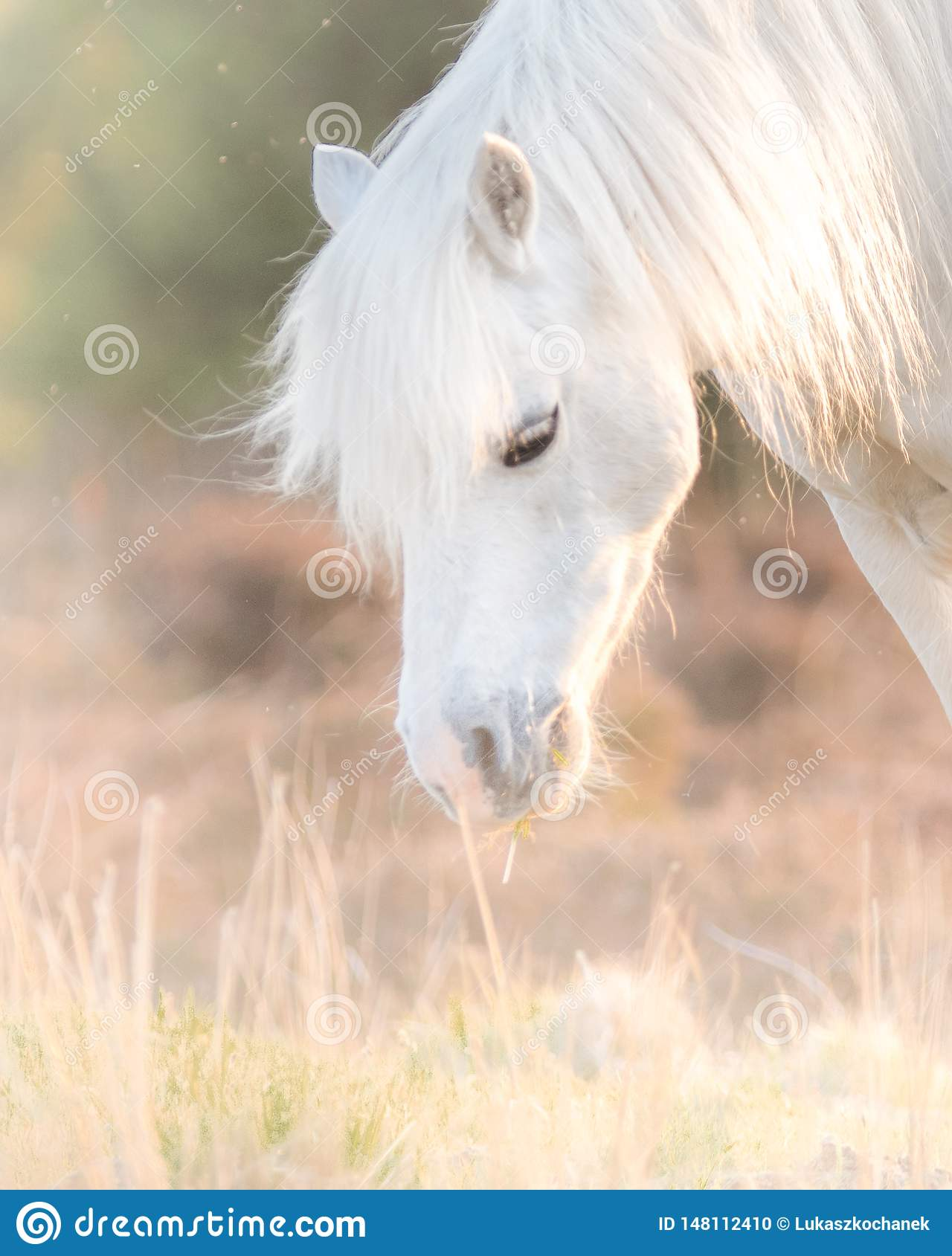 White Horse Beautiful White Stallion Running On A Meadow At Dawn Stock Photo Image Of Outdoor Beautiful 148112410