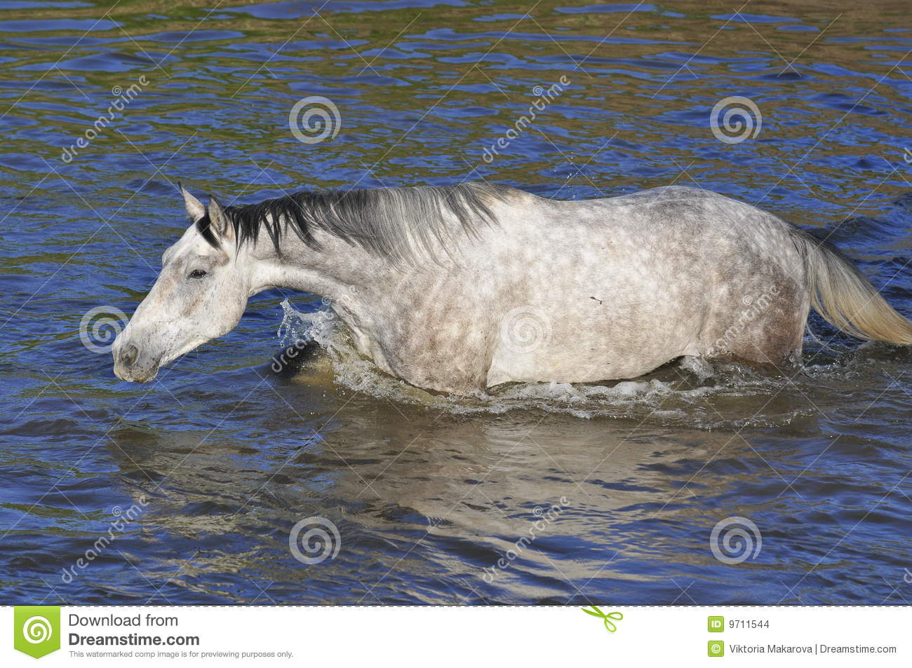White Horse Cross The River Water Swim Stock Images
