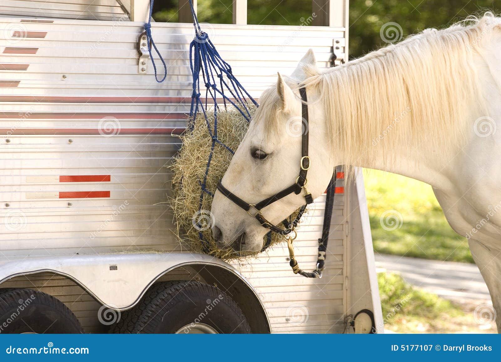 white horse eating royalty free stock photography image
