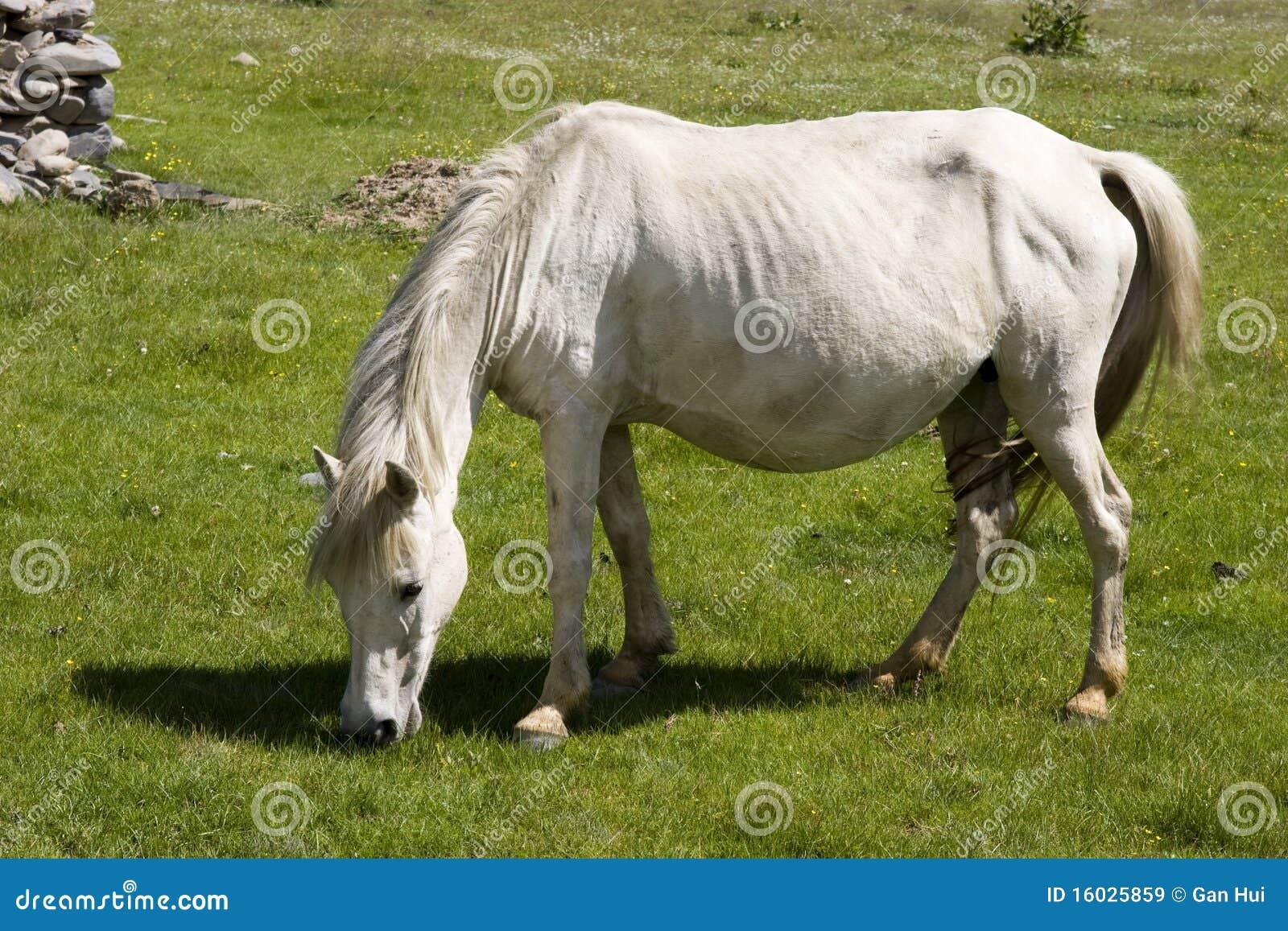 White horse eating grass - photo#3