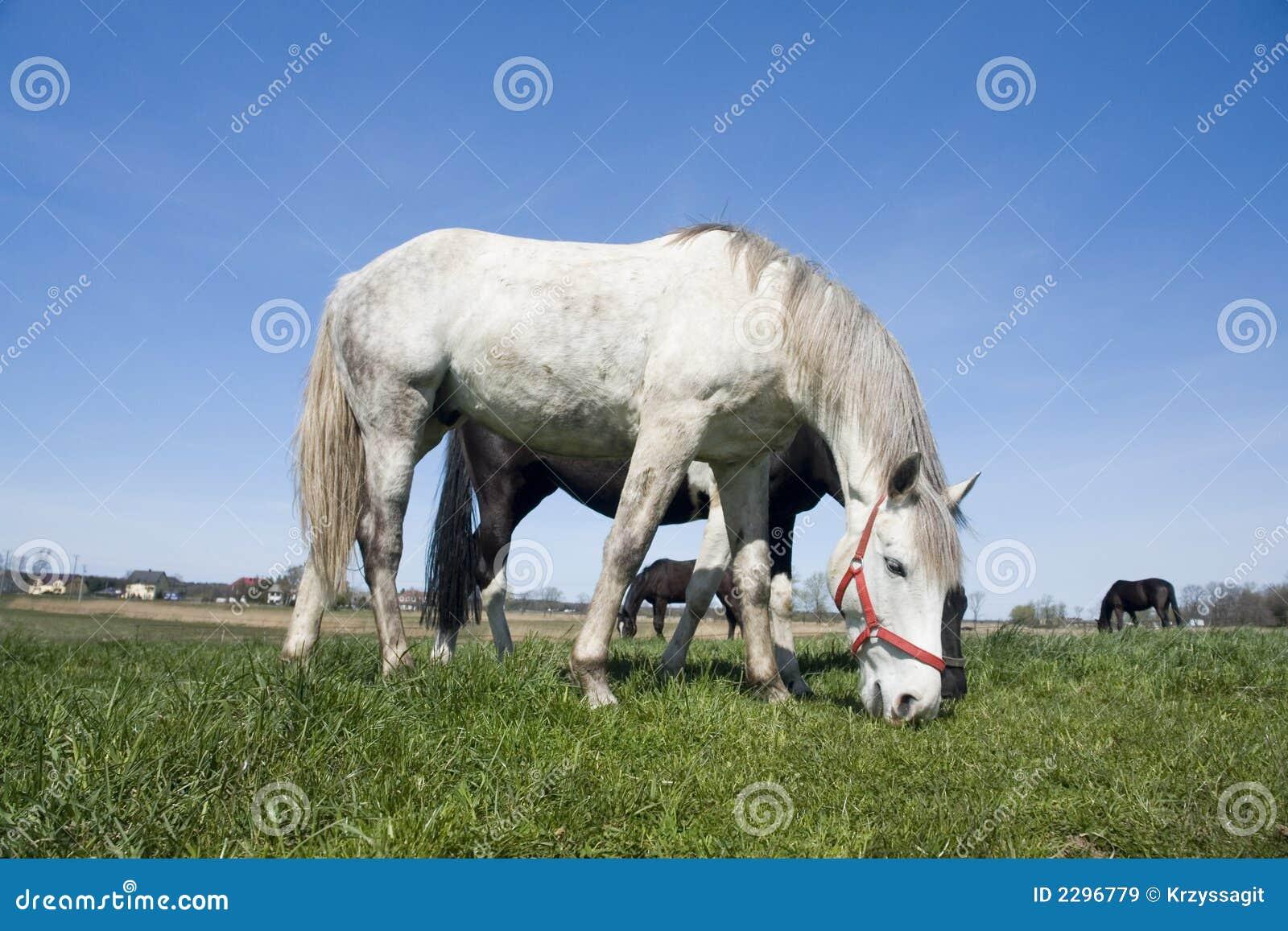 White horse eating grass - photo#16