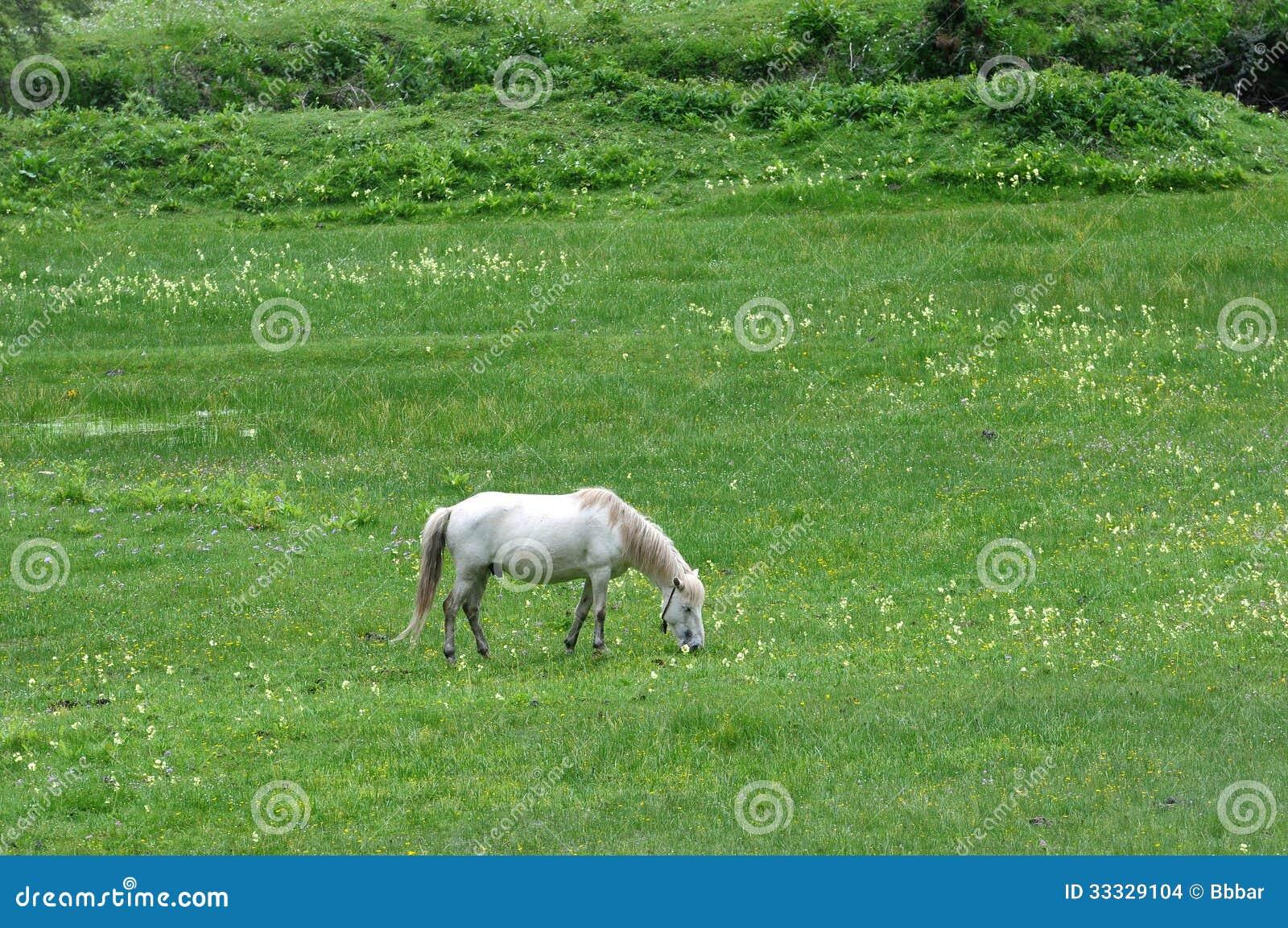 White horse eating grass - photo#5