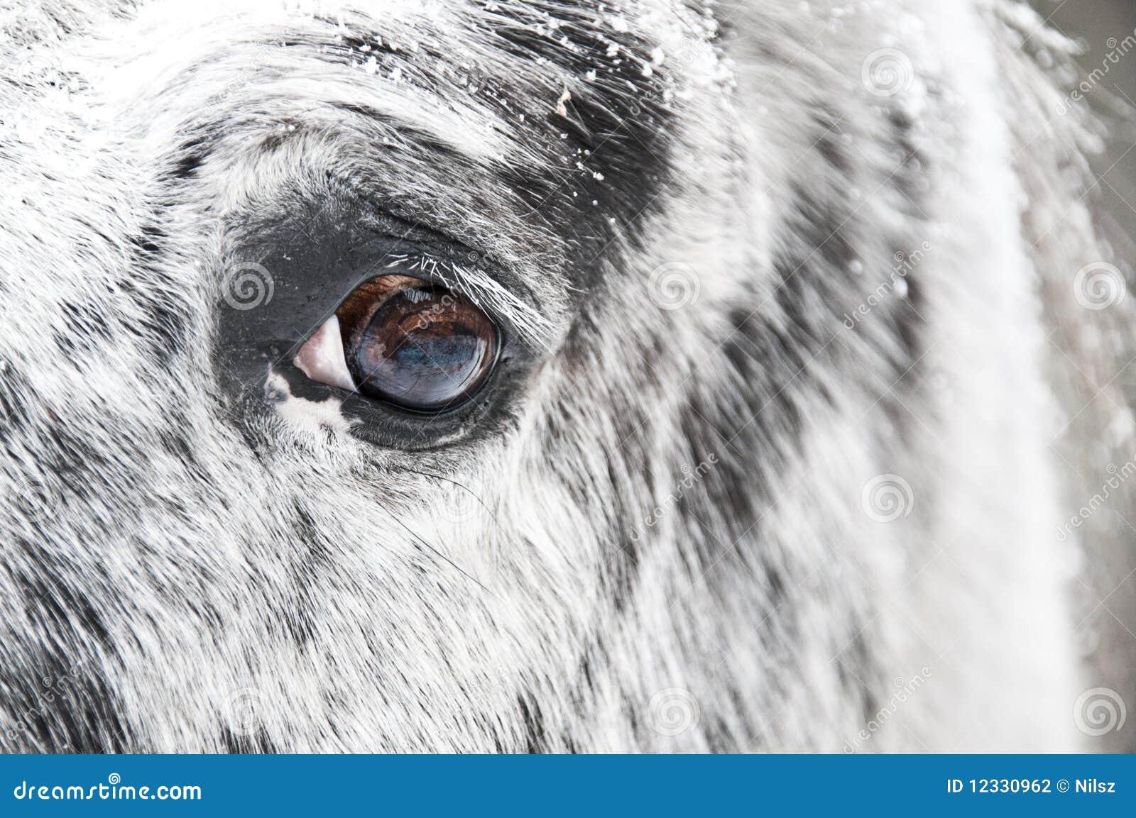 White Horse Eye Close Up Stock Photo Image Of Race Farm 12330962