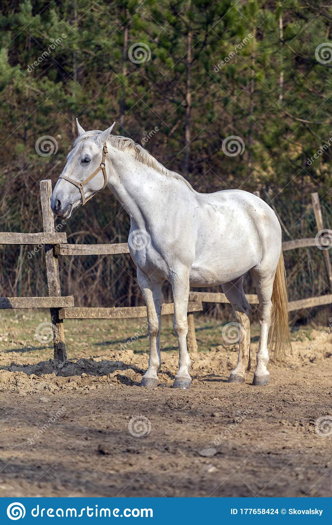 White Horse In A Horse Farm Stock Photo Image Of Equine Arab 177658424