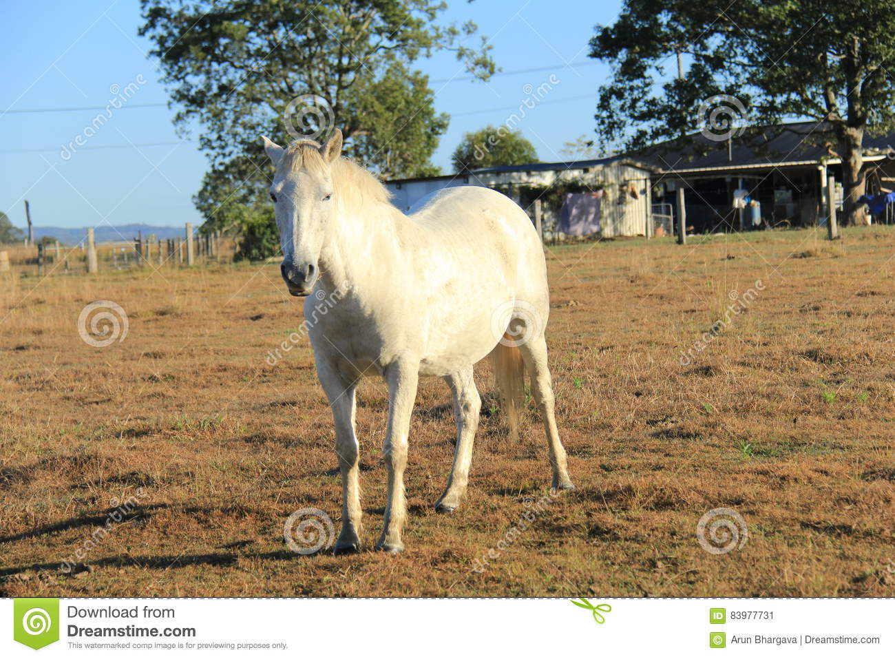 White Horse In A Farm Stock Image Image Of Arabia Horse 83977731