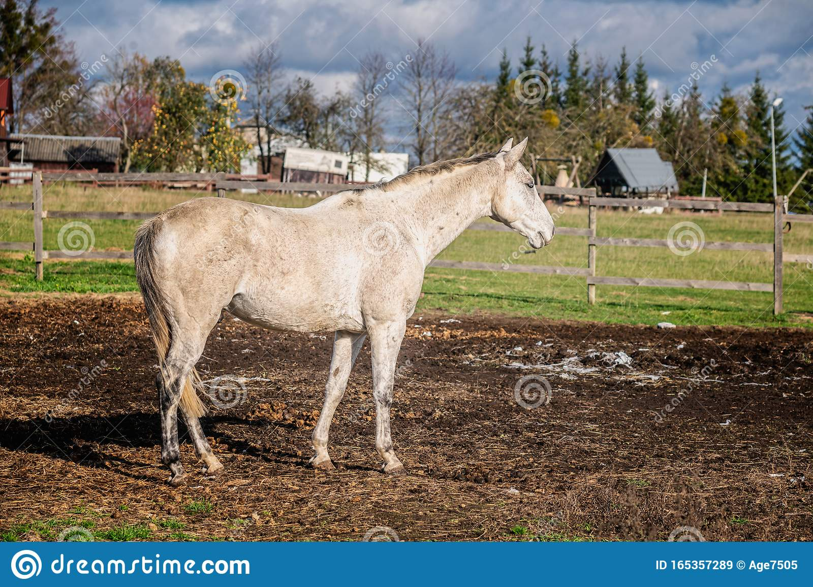 White Horse In A Farm Yard Stock Image Image Of Stallion 165357289