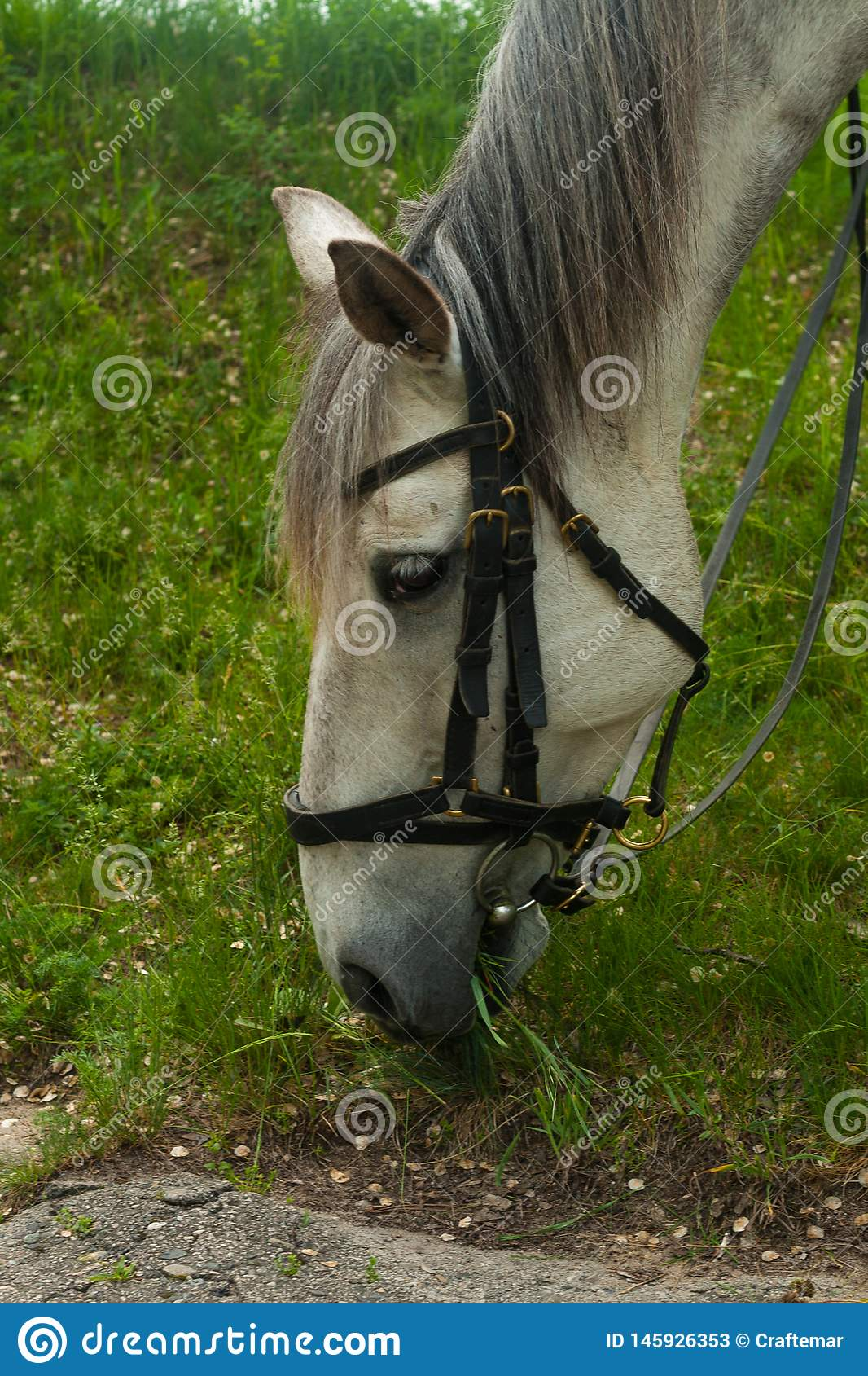 White horse. white gray horse grazing on the green grass in the forest, horse harnessed in leather harness, close up portrait