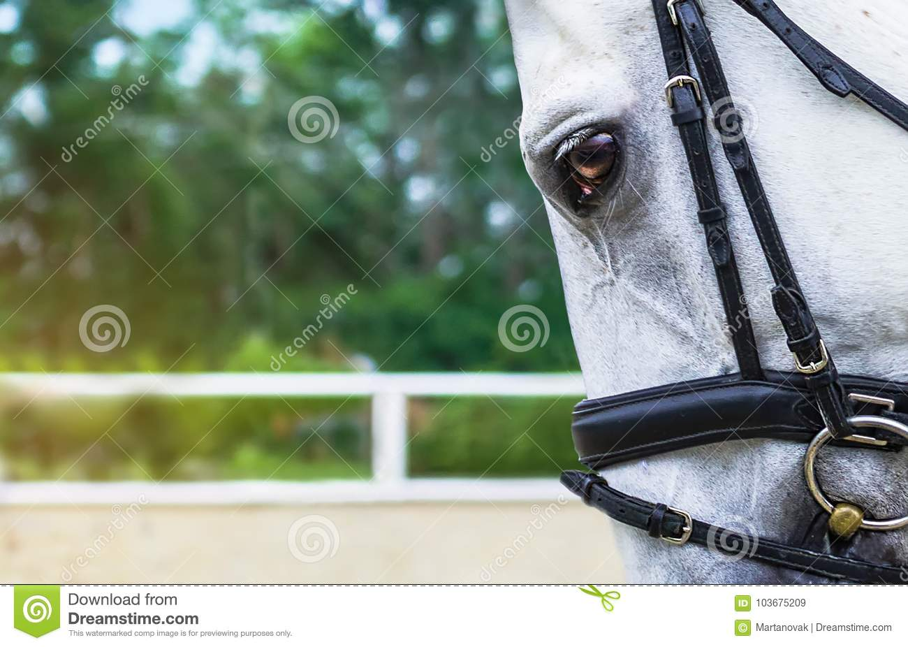 White Horse Half Face Looking Forward On Show Jumping Or Dressage Competition Green Blur Background Stock Image Image Of Bridled Bridle 103675209