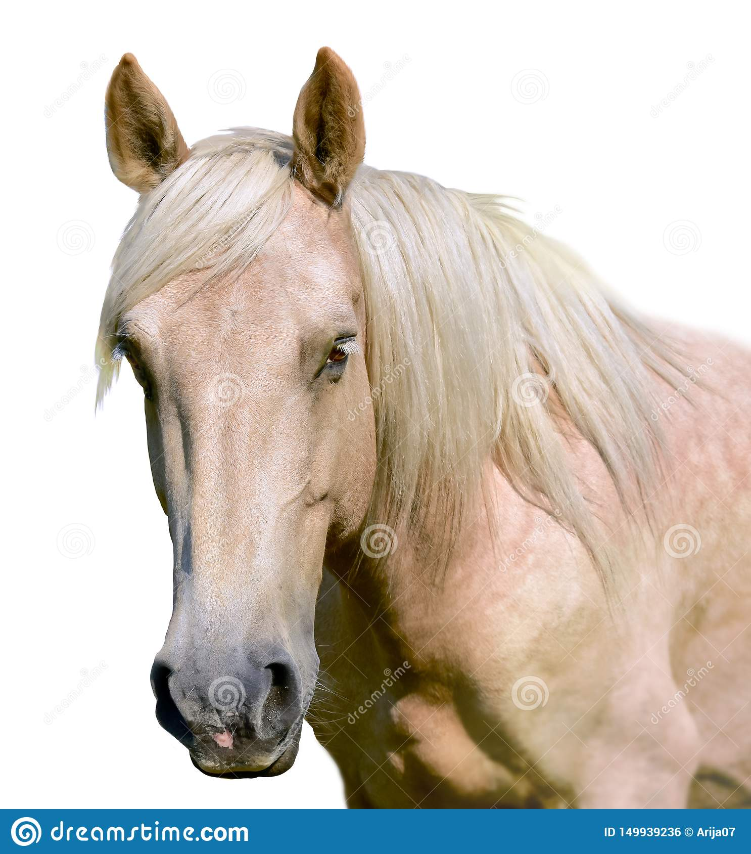 White Horse Head Isolated On The White Background A Closeup Portrait Of The Face Of A Horse Stock Photo Image Of Head Animal 149939236