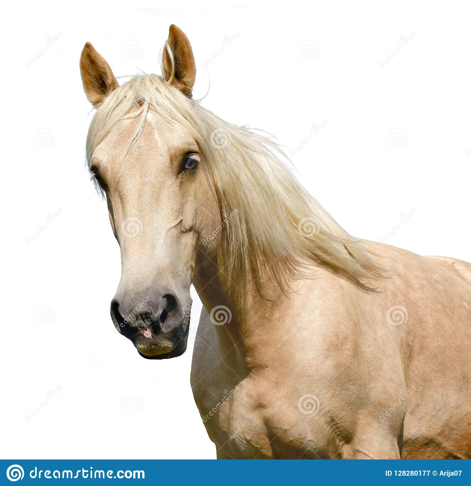 White Horse Head Isolated On The White Background A Closeup Portrait Of The Face Of A Horse Stock Image Image Of Face Foal 128280177