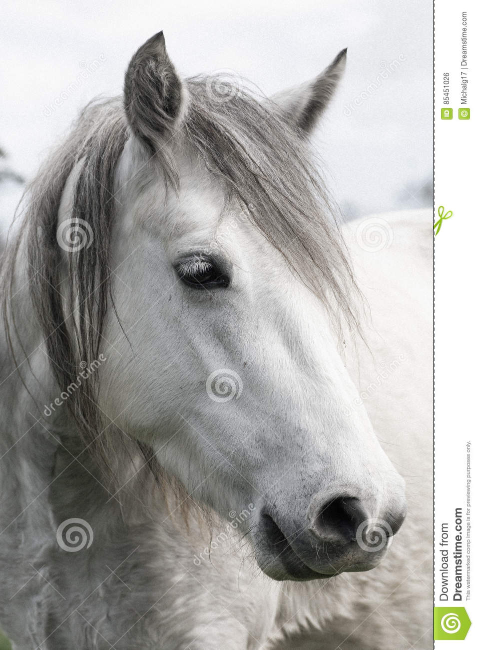 White Horse Head Stock Photo Image Of Horses Animal 85451026