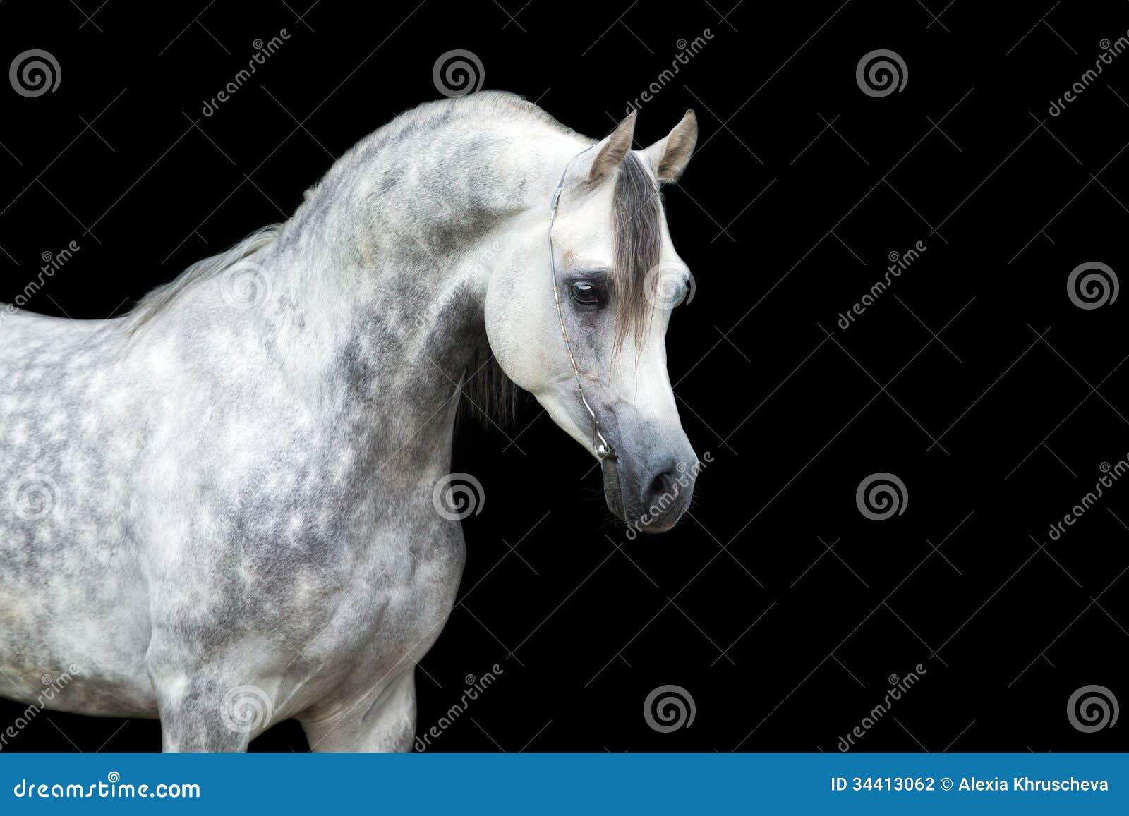 White Horse Isolated On Black Arabian Horse Stock Photo Image Of Portrait Beauty 34413062