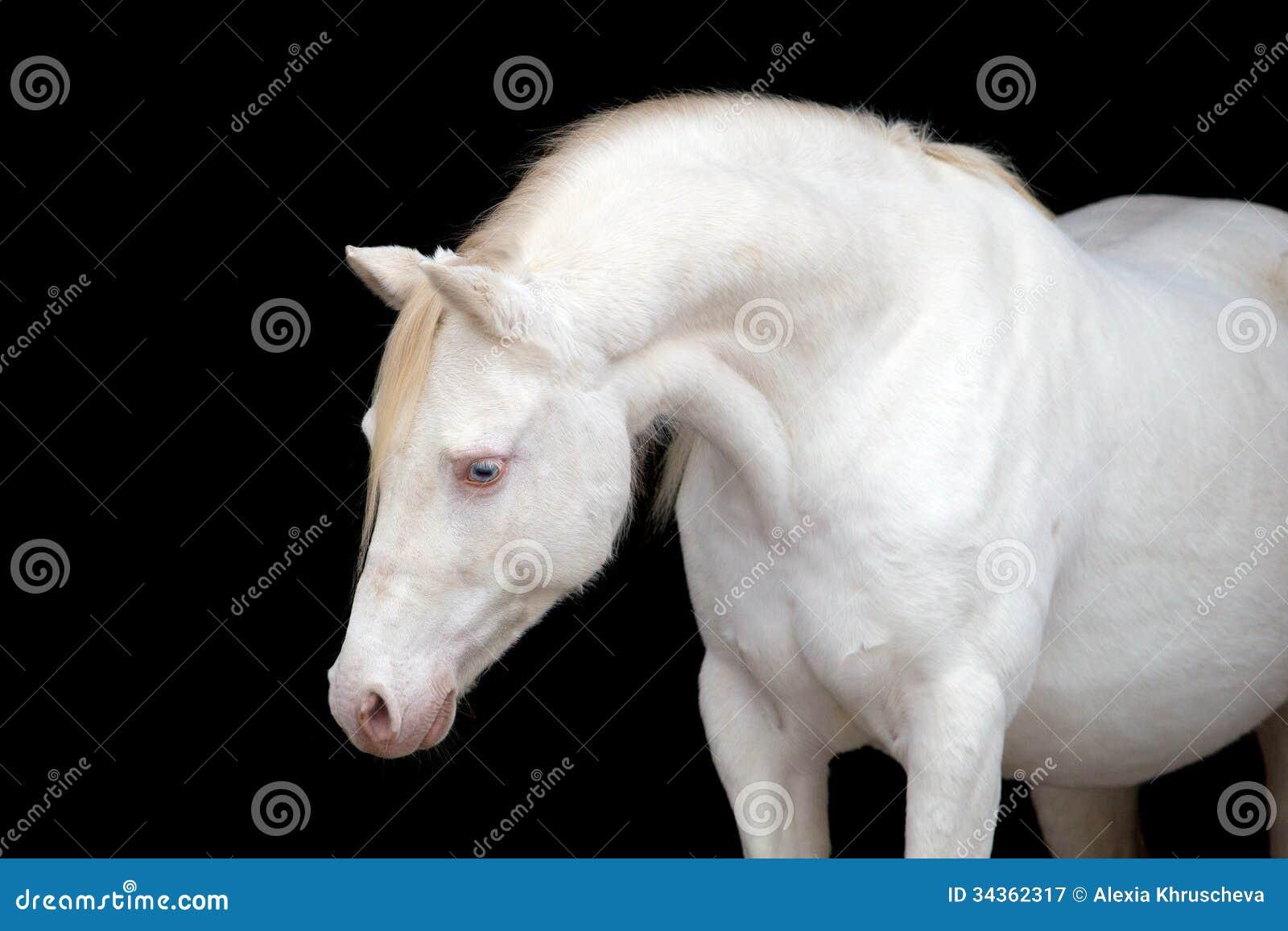 White Horse Isolated On Black Welsh Pony Stock Image