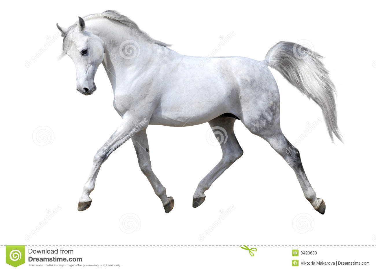 White horse isolated trots