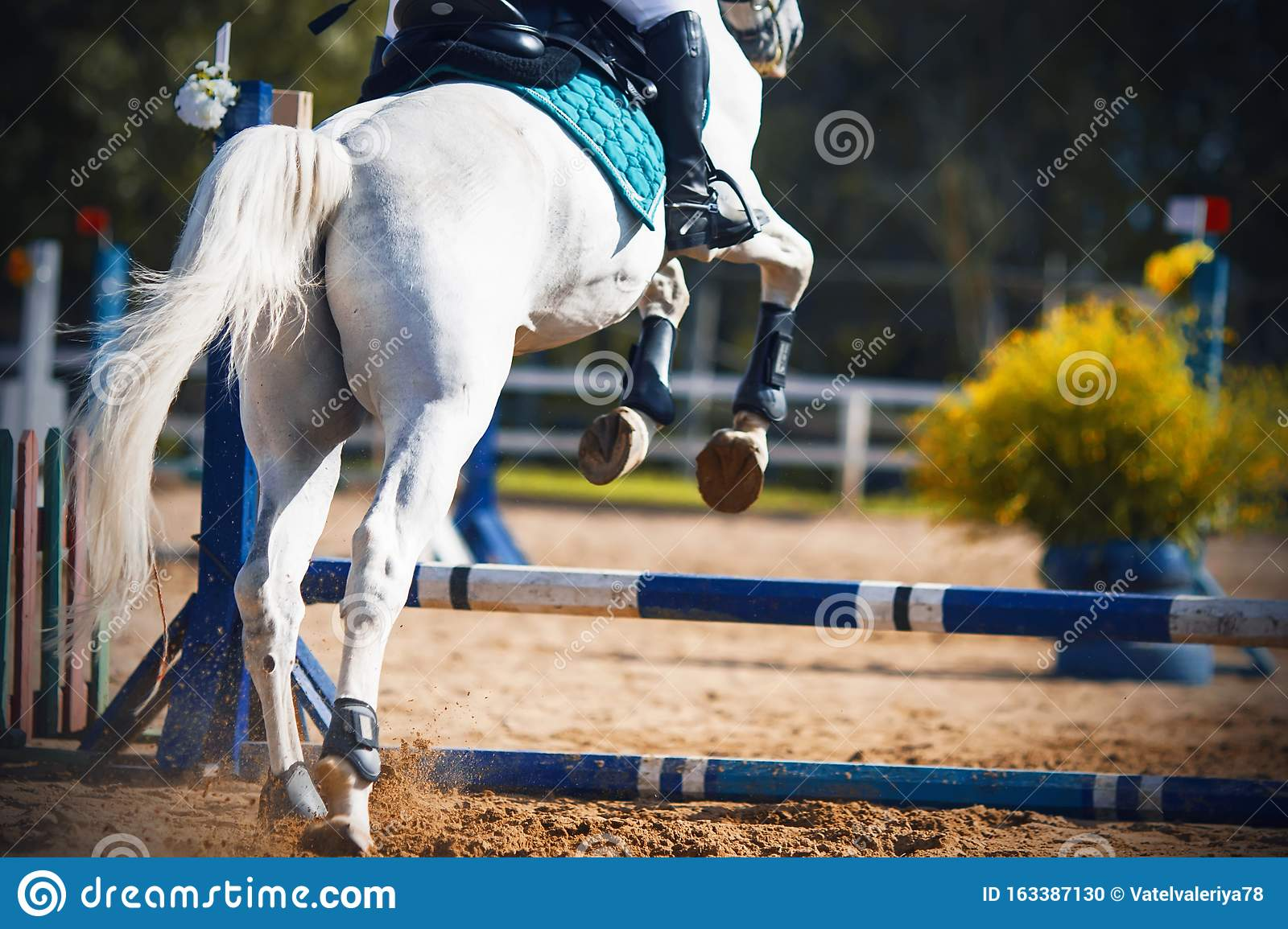A White Horse Jumps Over The Blue Barrier At A Show Jumping Competition Stock Photo Image Of Horseback Moment 163387130
