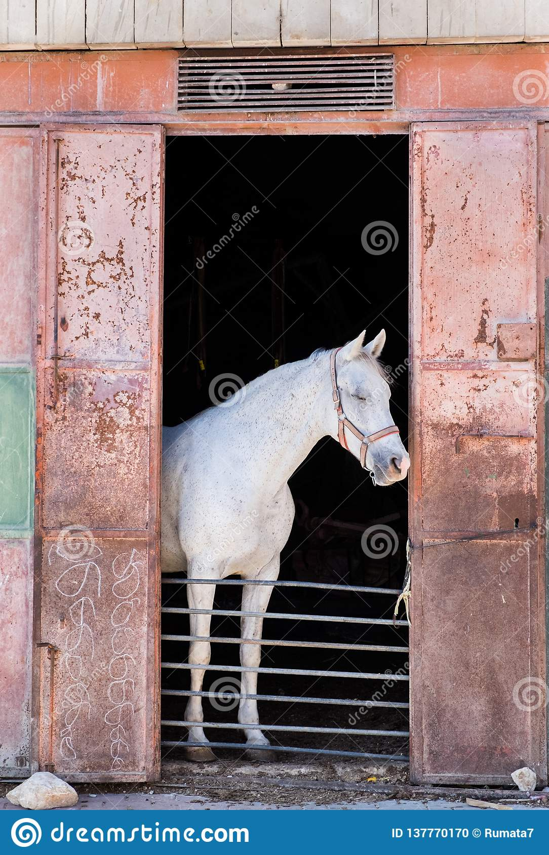 White Horse Looking Outside From Horse Stable Stock Photo Image Of Nature Mammal 137770170