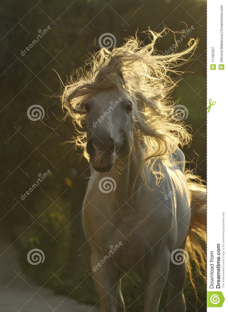 Download White horse move hair stock image. Image of wind, tale - 11192427