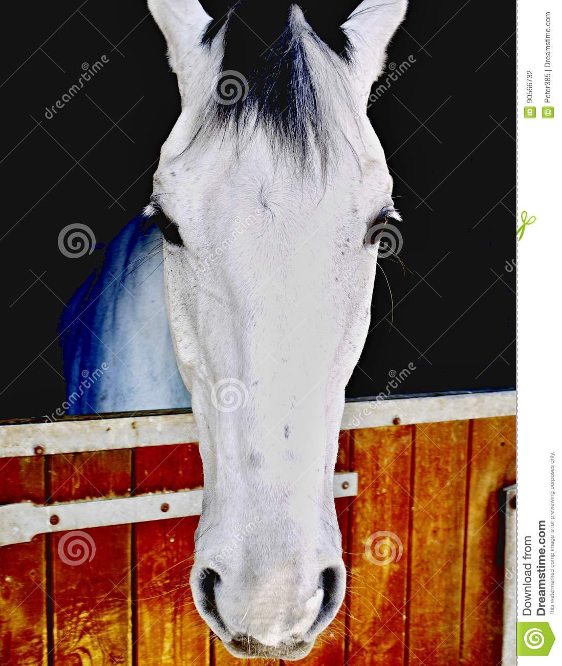 Download White horse stock photo. Image of head, mare, brown, mane - 90566732