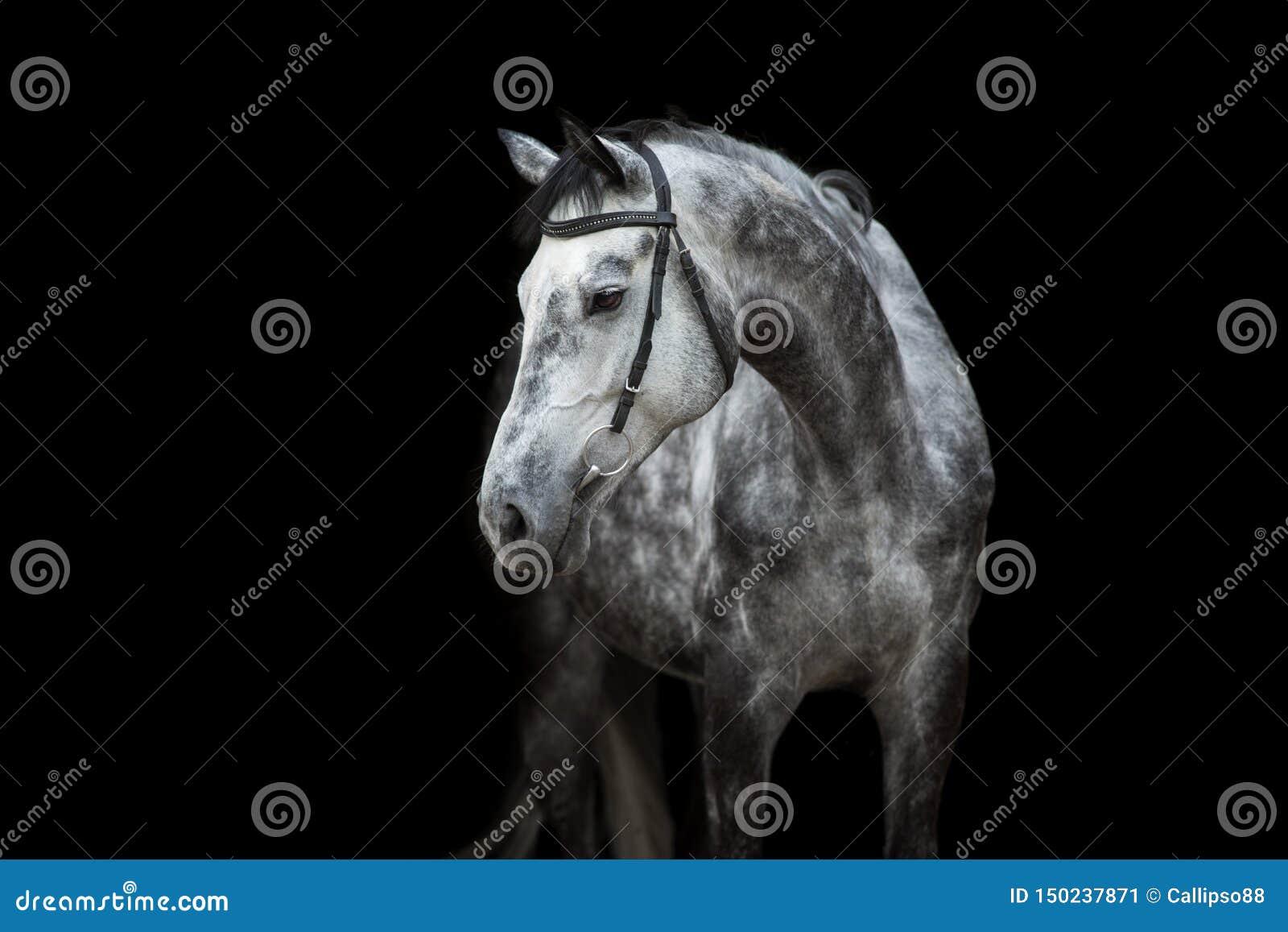 Horse portrait on black