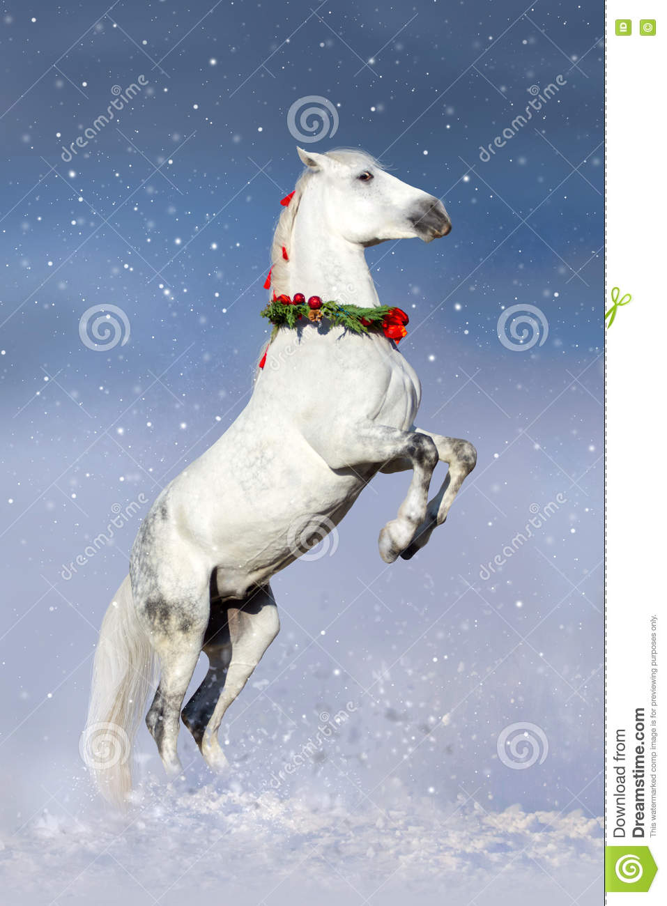 White Horse Rearing Up In Christmas Wreath Stock Photo Image Of Strong Animal 77698854
