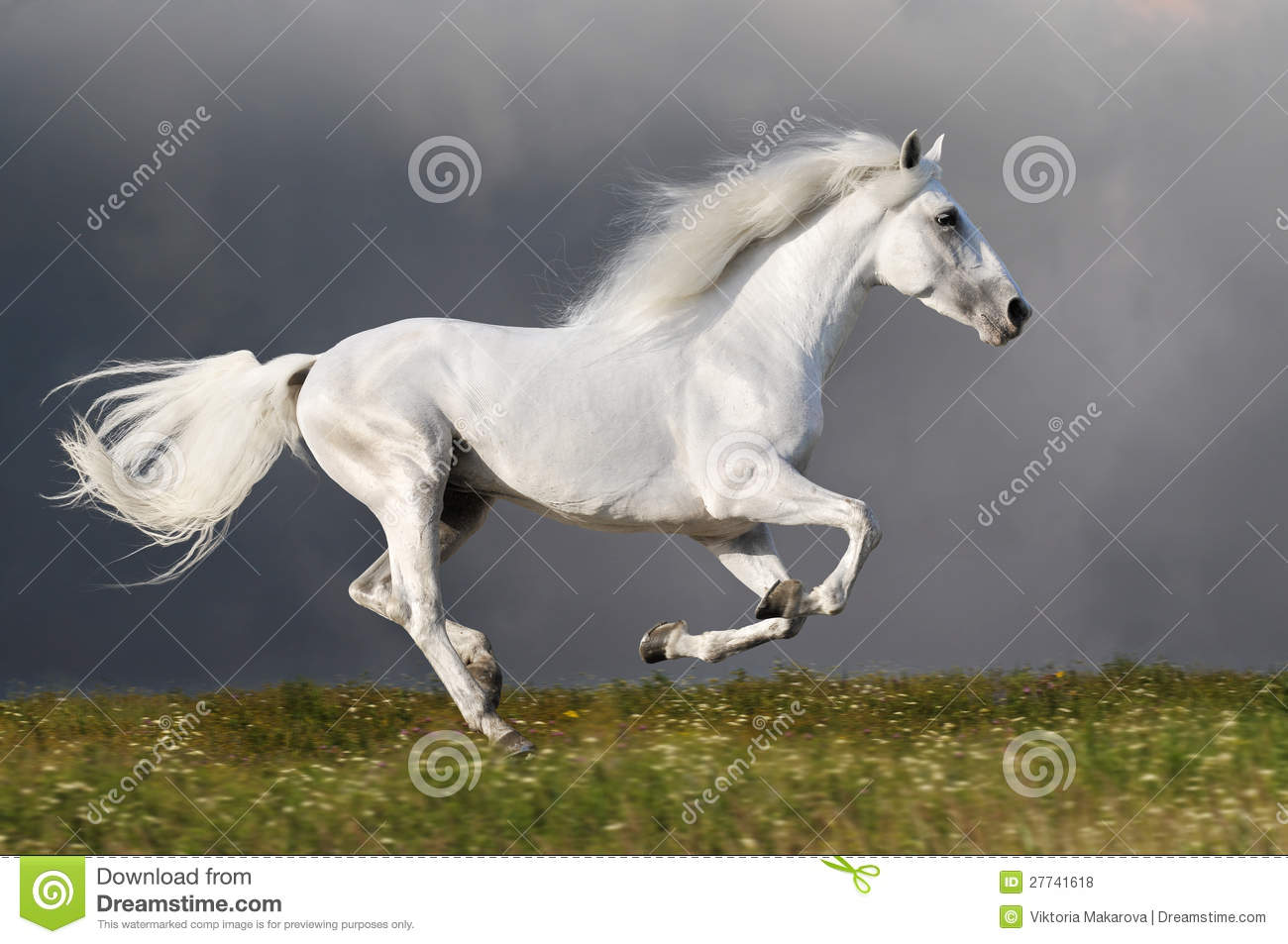 White Horse Runs On The Dark Sky Background Stock Photo Image Of Mane Grass 27741618