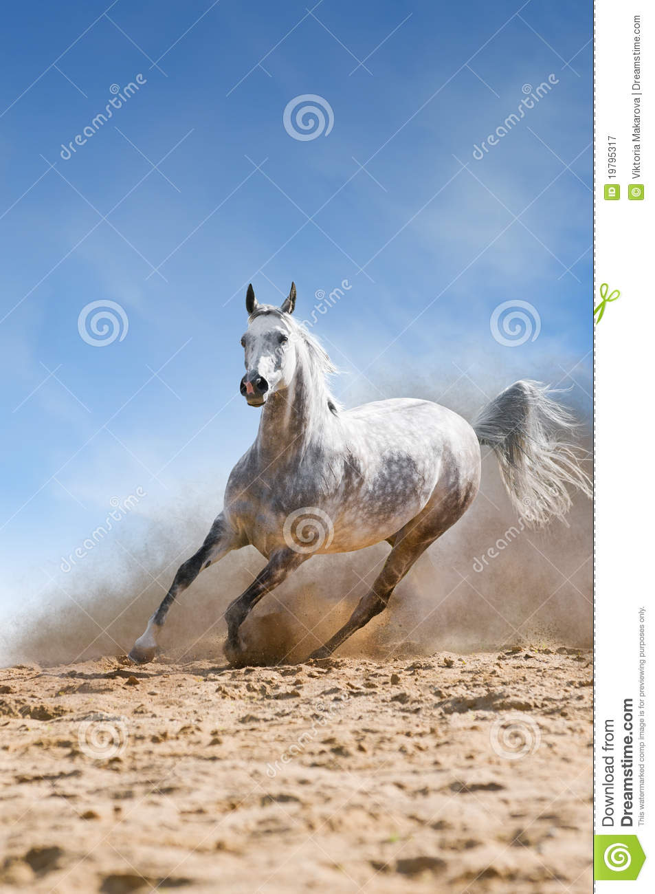 white horse runs gallop in the dust