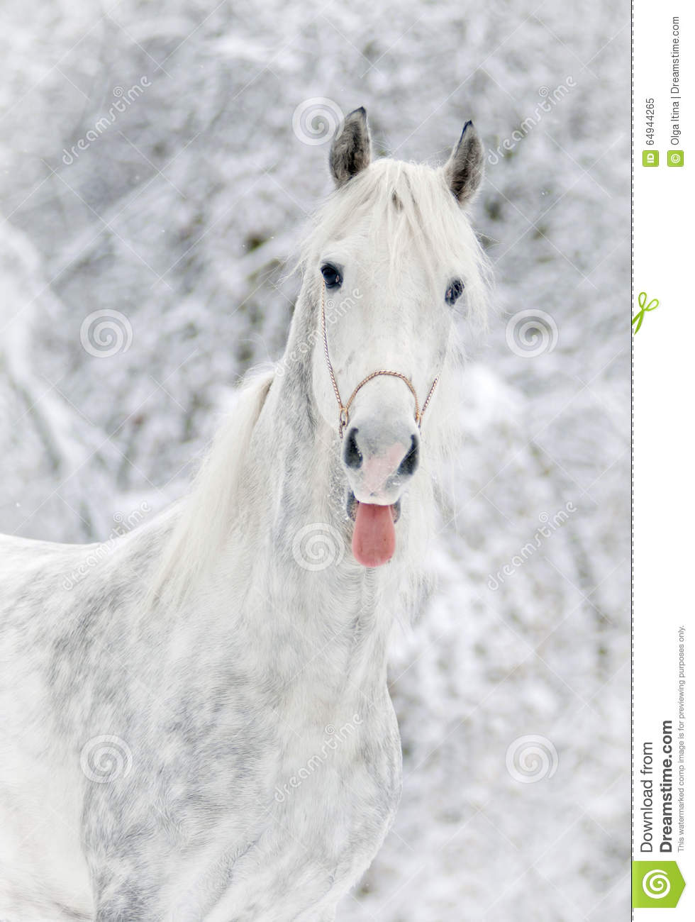 White horse shows tongue in snowy forest background