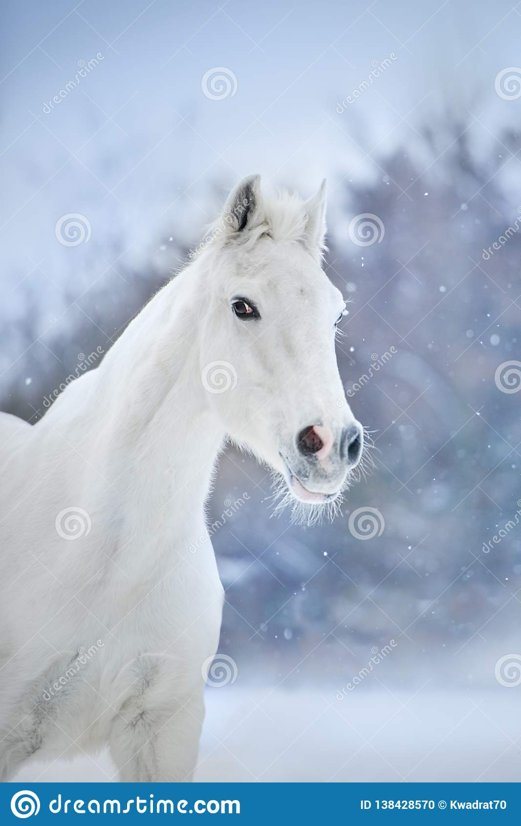 White Horse In Snow Stock Photo Image Of Beautiful 138428570